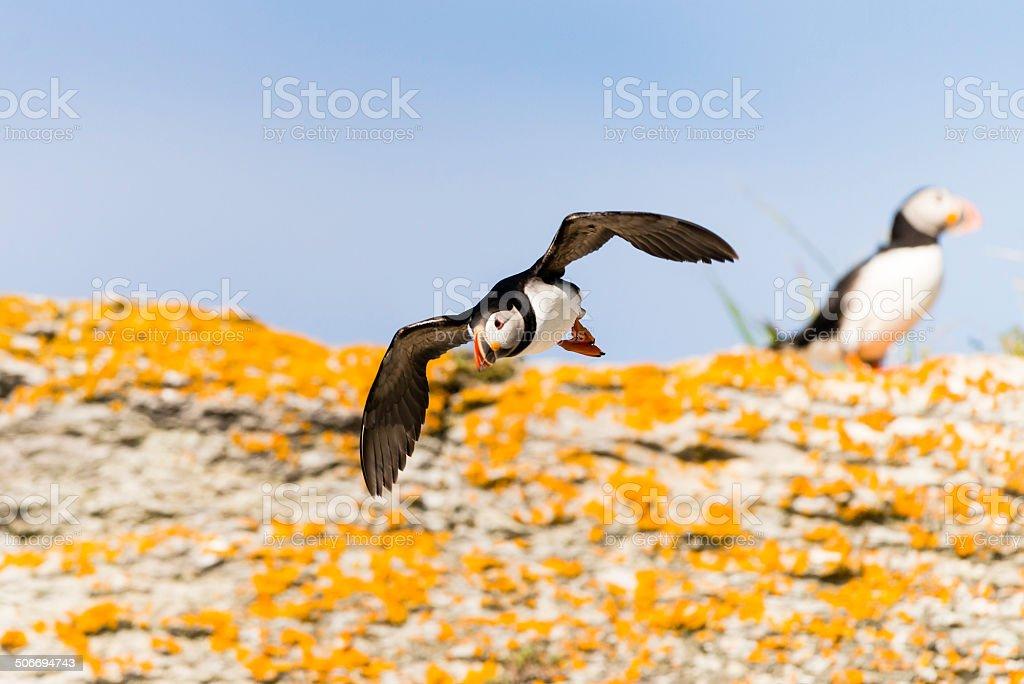 Puffin on flight stock photo