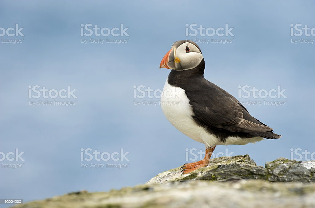 Puffin on the Farne Islands Number 1 stock photo