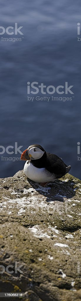 Puffin panorama ocean cliff vertical Iceland royalty-free stock photo