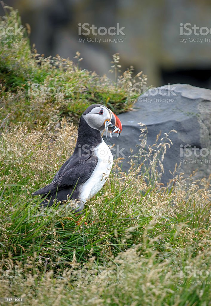 Puffin royalty-free stock photo