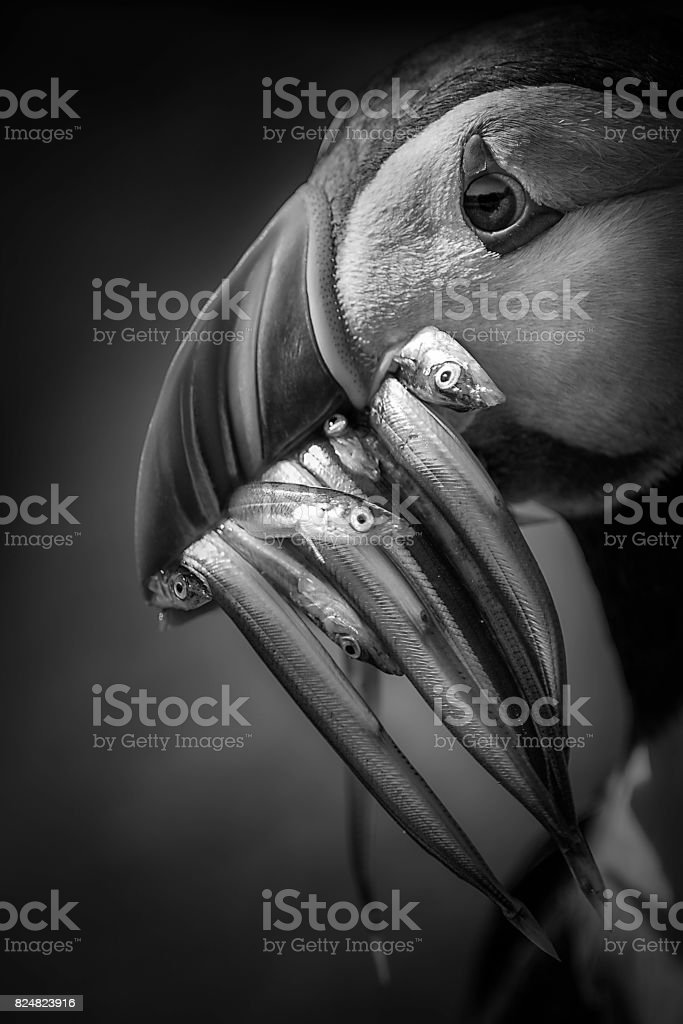 Puffin stock photo