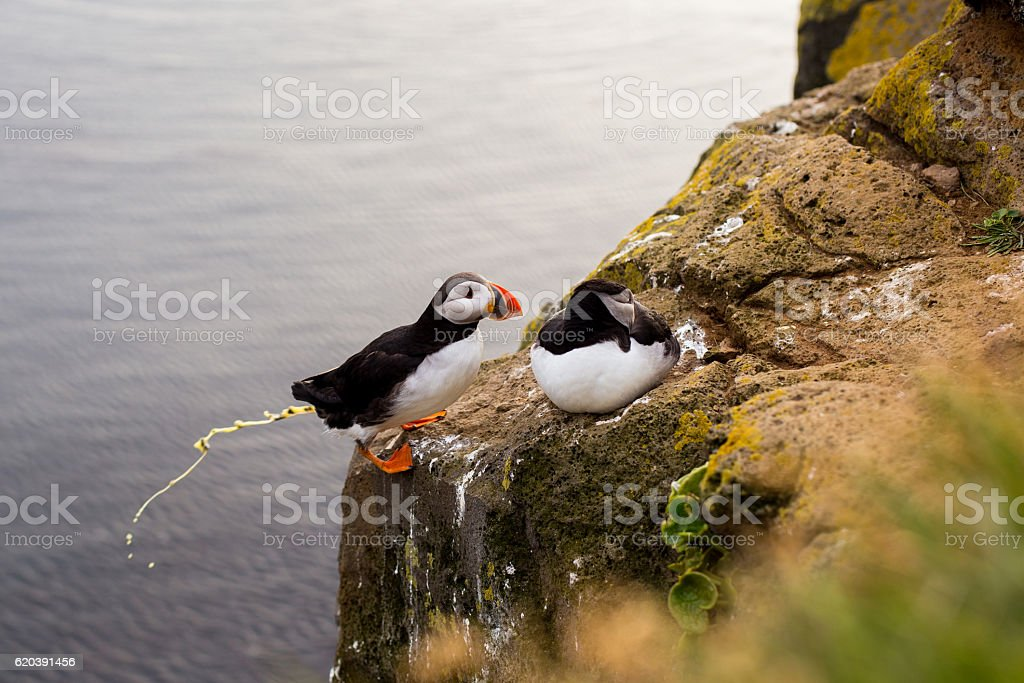 Puffin poop, Iceland. stock photo