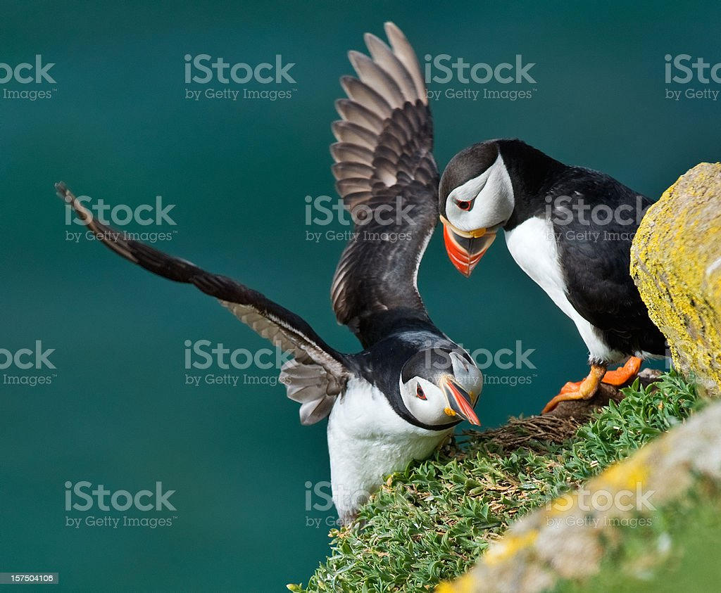 Puffin struggling to land on a cliff stock photo