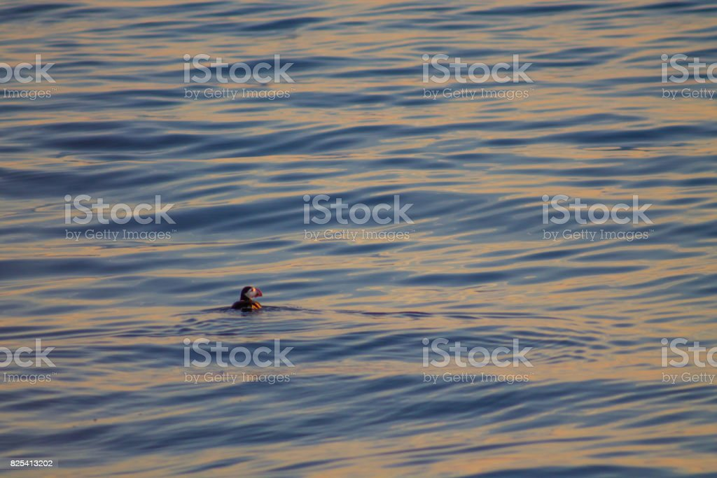 Puffin swimming in blue and orange sunset stock photo