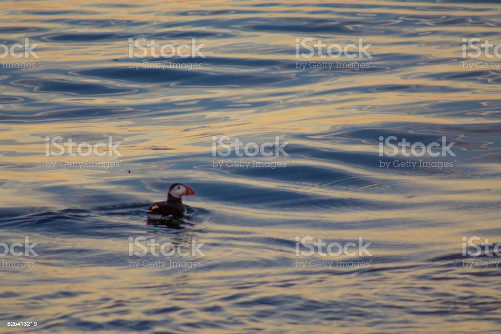 Puffin swimming in blue and yellow sunset stock photo