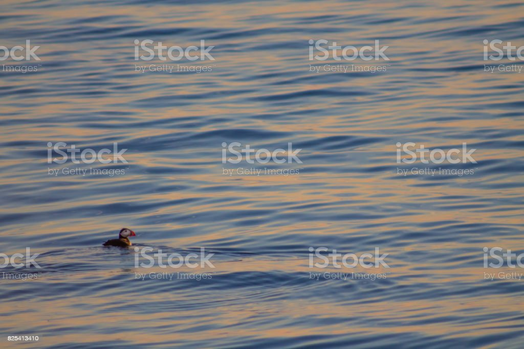 Puffin swimming in blue and yellow sunset -side stock photo
