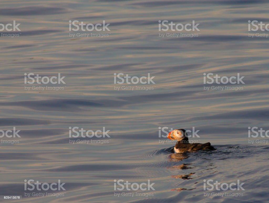 Puffin swimming in orange sunset stock photo