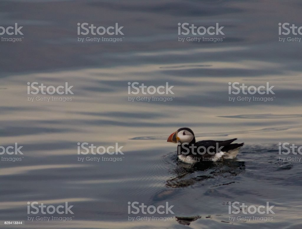 Puffin swimming in sunset - looking left stock photo