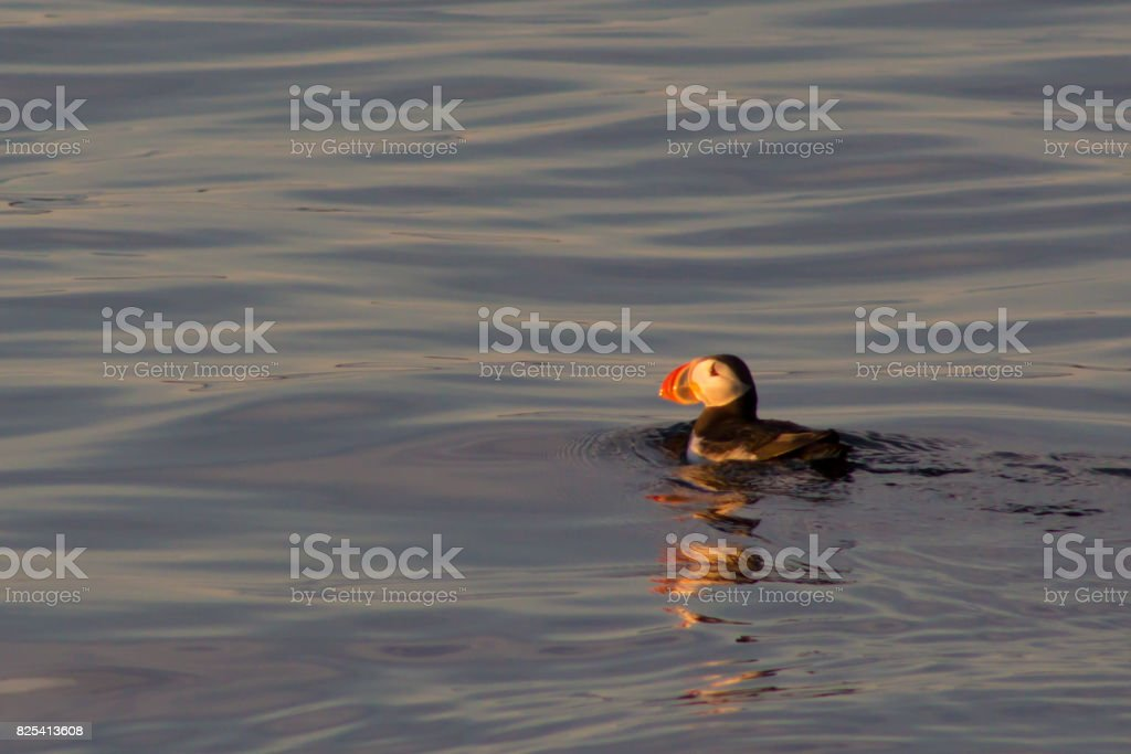 Puffin swimming in sunset stock photo