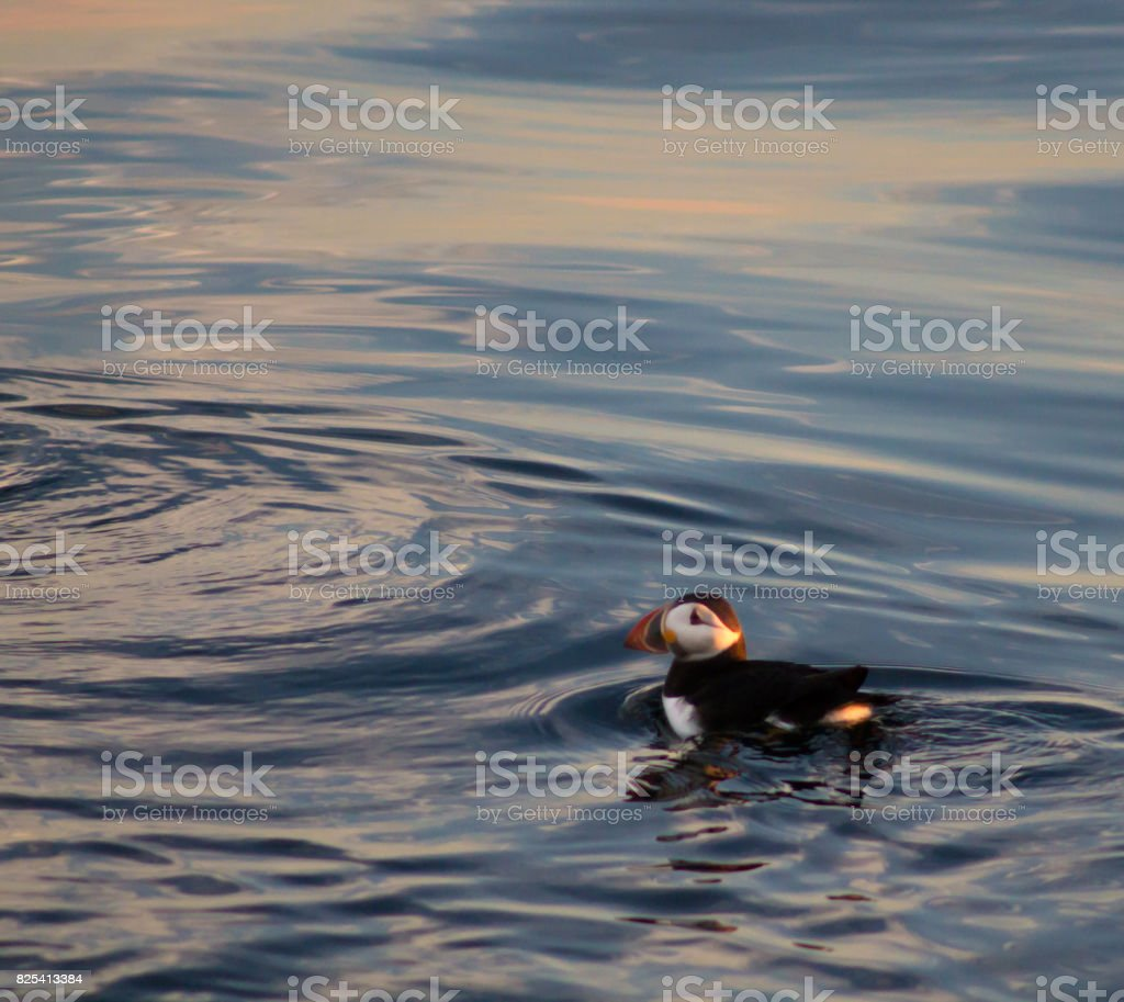 Puffin swimming in sunset - square, looking left stock photo