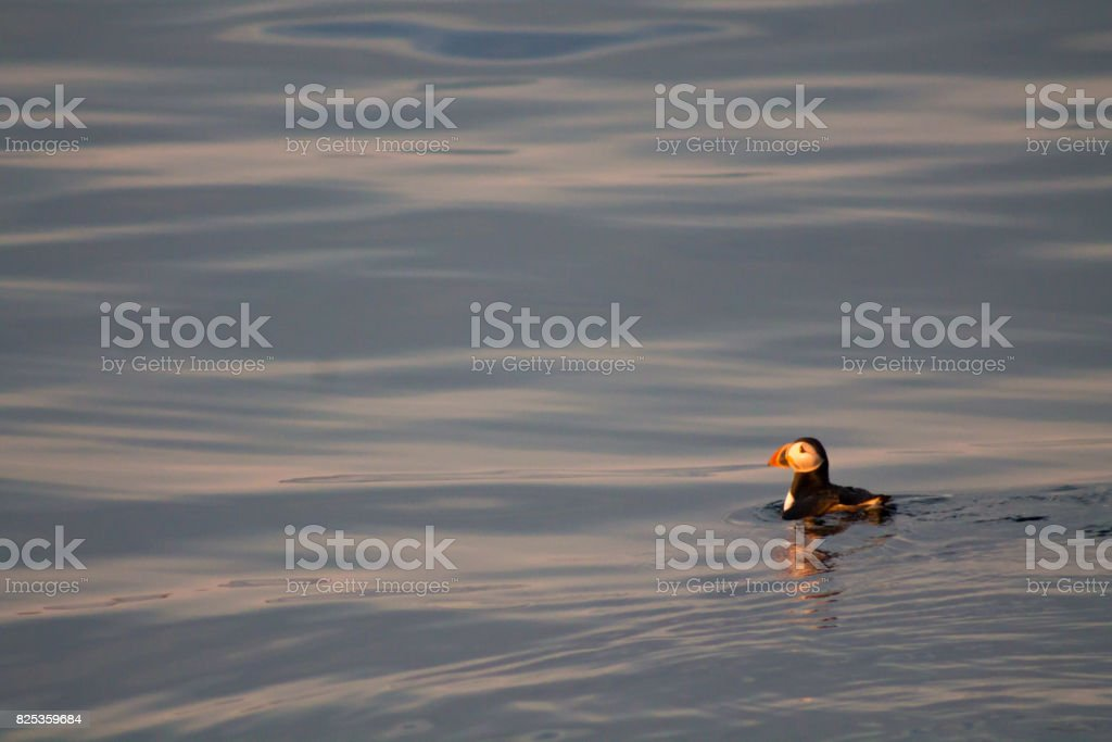 Puffin swimming on blue and light orange water stock photo