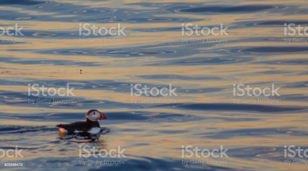 Puffin swimming on blue and orange water stock photo