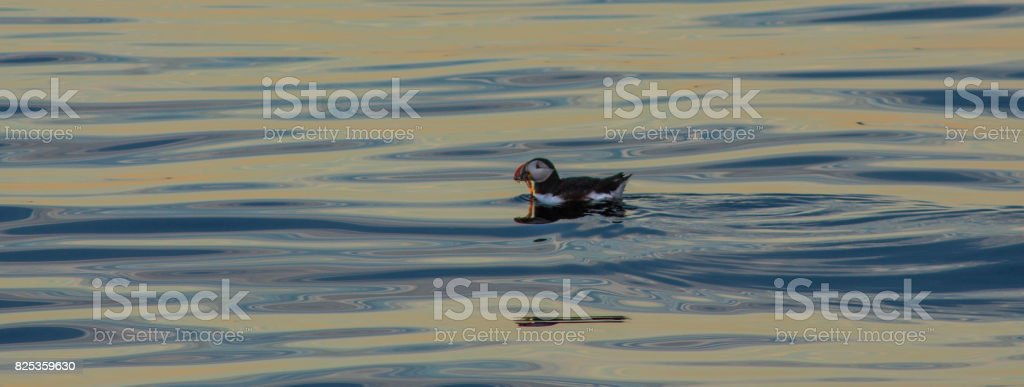 Puffin swimming on blue and yellow water stock photo