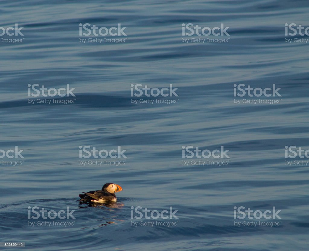 Puffin swimming on blue water stock photo