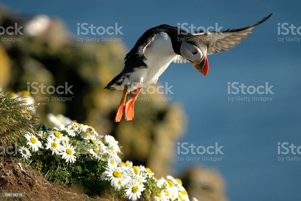 Puffin TakeOff royalty-free stock photo
