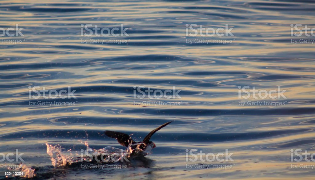 Puffin taking off in sunset stock photo