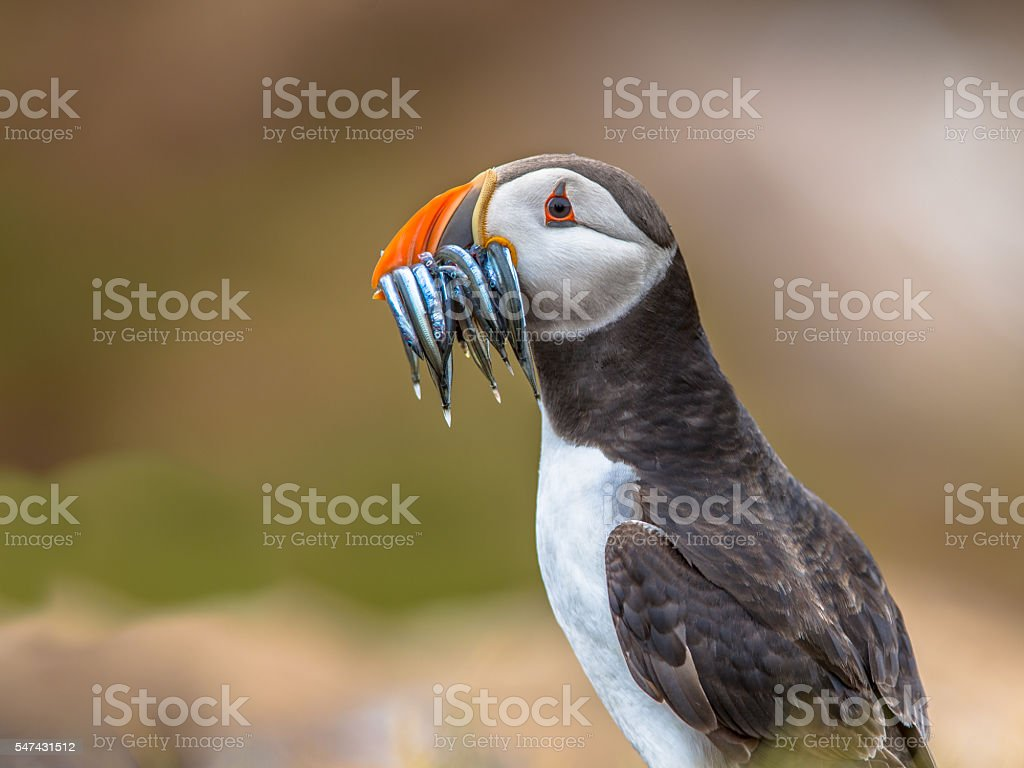 Puffin with beek full of sandeels stock photo