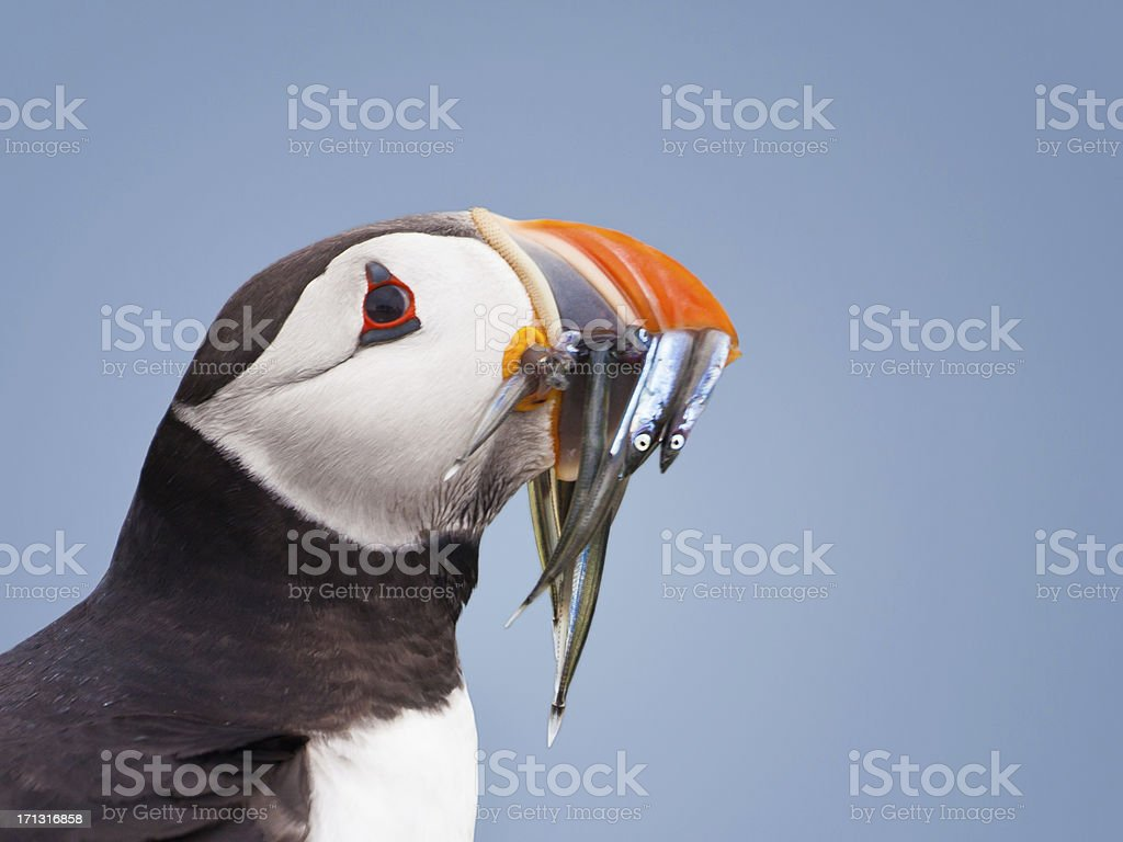 Puffin (Fratercula arctica), with sandeels stock photo