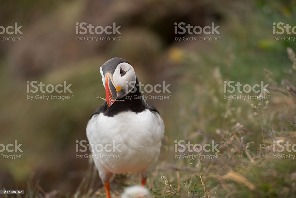 Puffin with straw in its mouth, Latrabjarg, Iceland stock photo