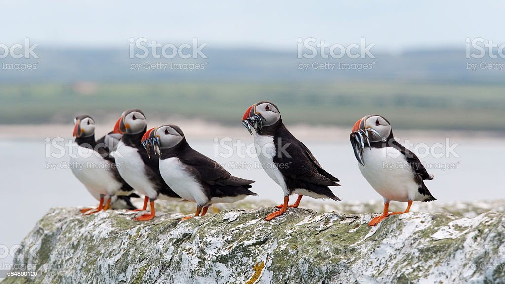 Puffins in a row stock photo