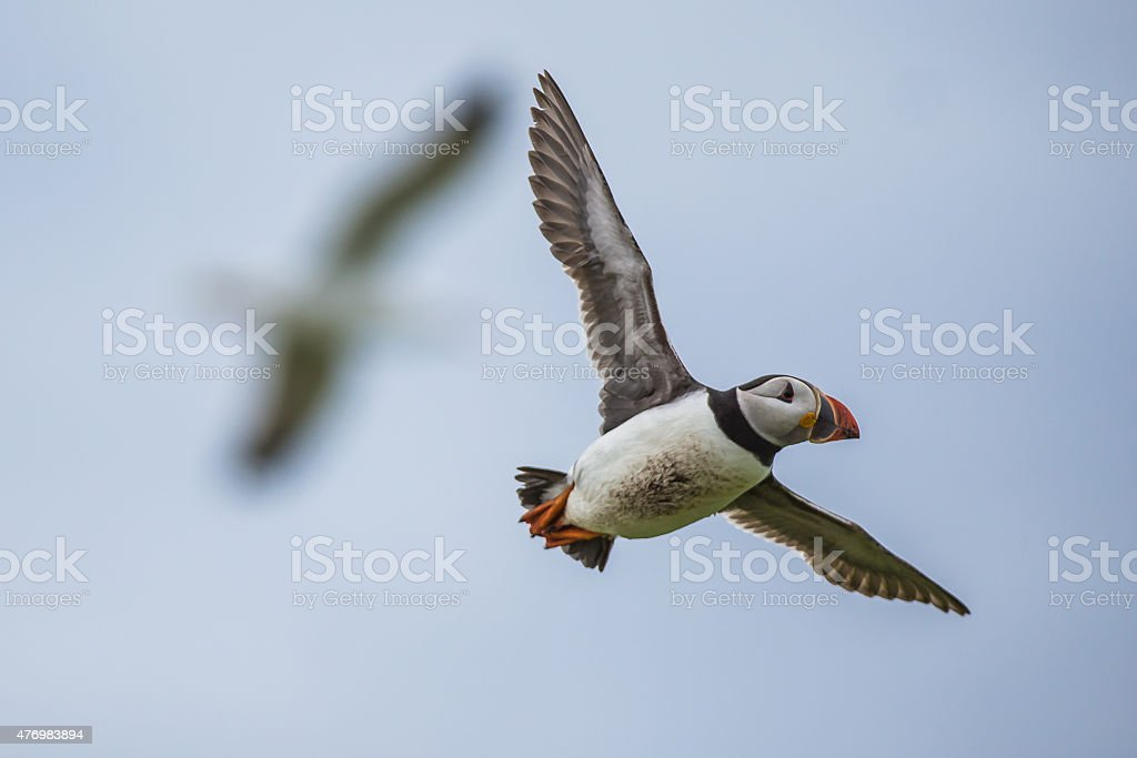 Puffins in flight stock photo