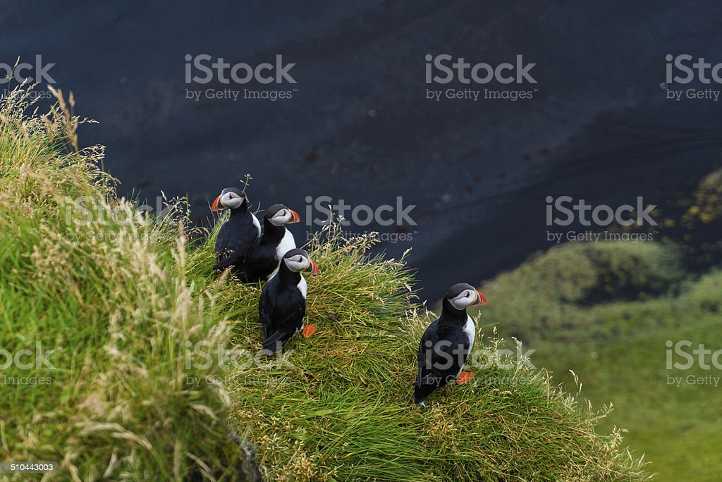 Puffins in mist on cliffs at Vik, Iceland stock photo