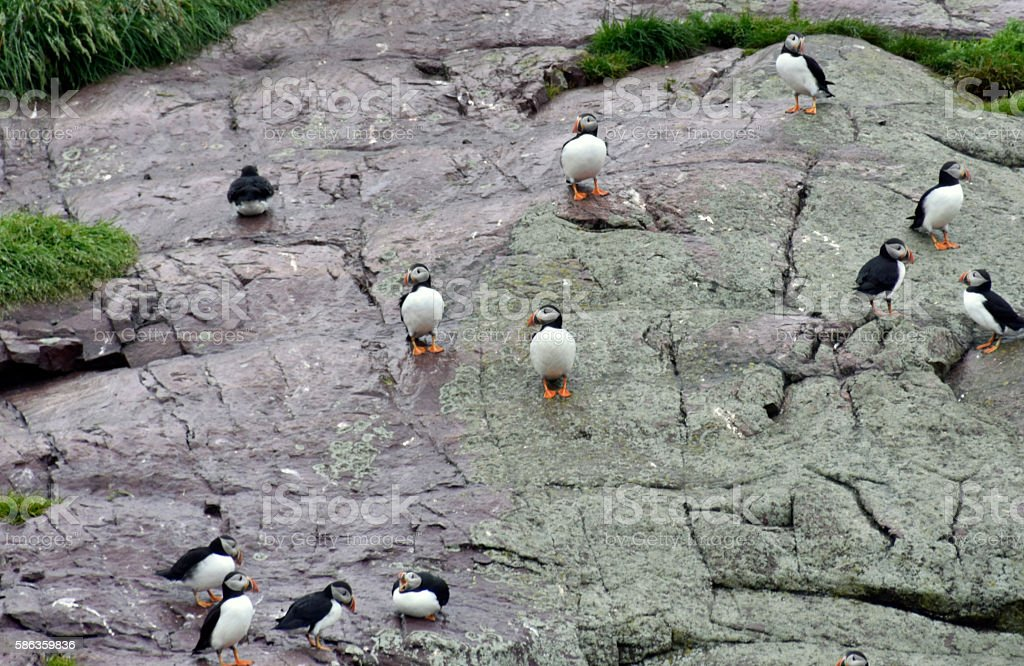 Puffins in St. John's Newfoundland stock photo