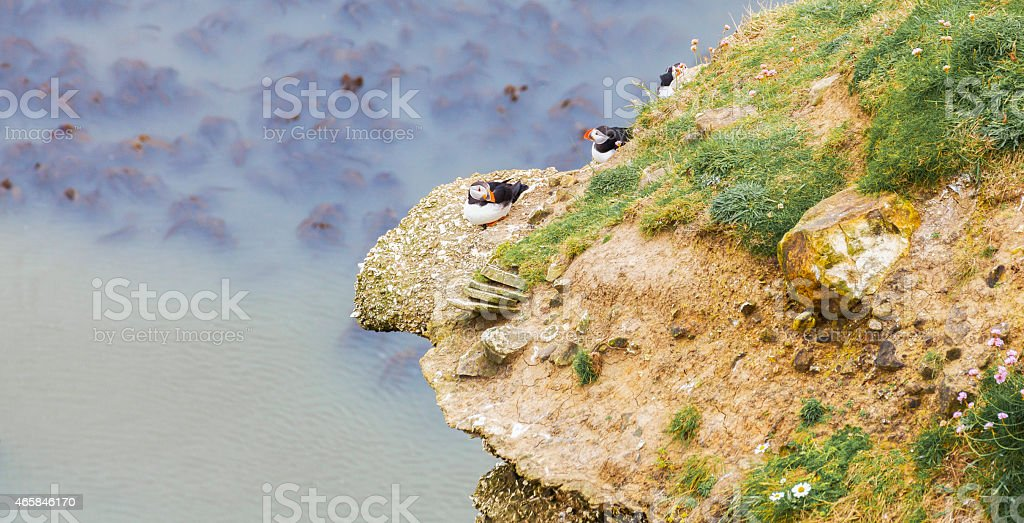Puffins Nesting on Rocky Outcrop stock photo