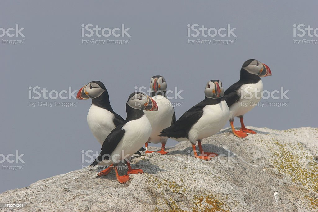Puffins on Rock royalty-free stock photo
