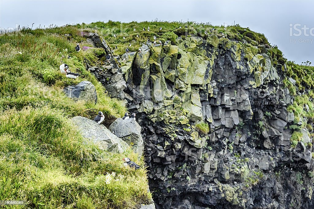 Puffins on the cliff, Iceland summer royalty-free stock photo