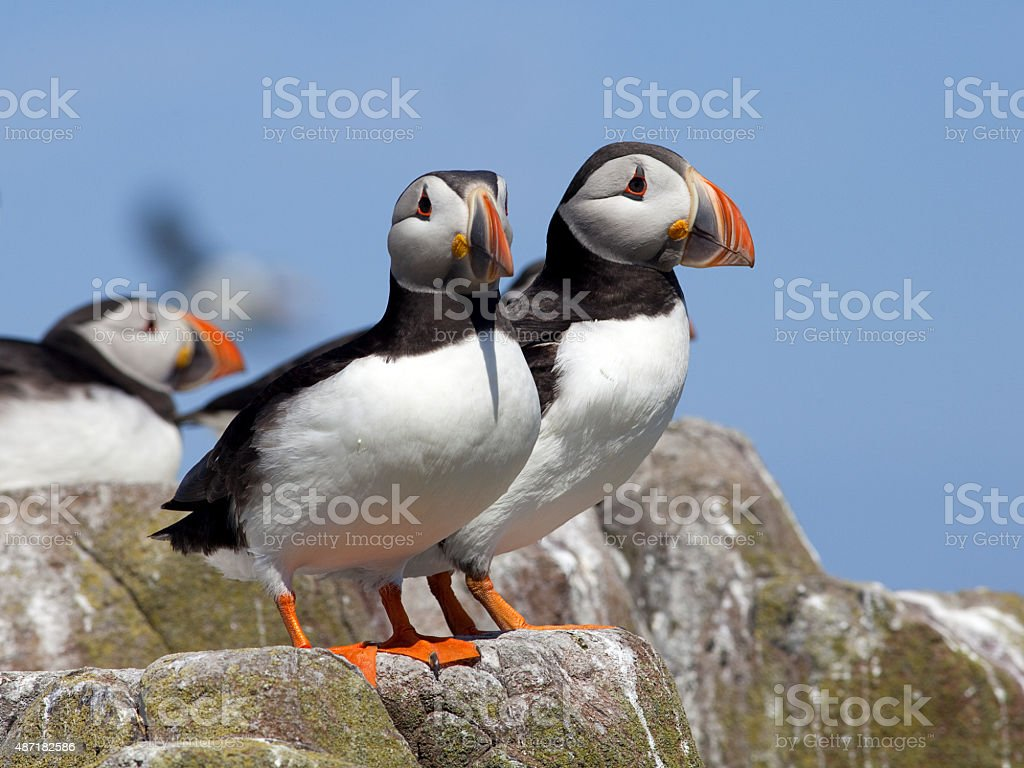 Puffins on the Farne Islands, Northumberland stock photo