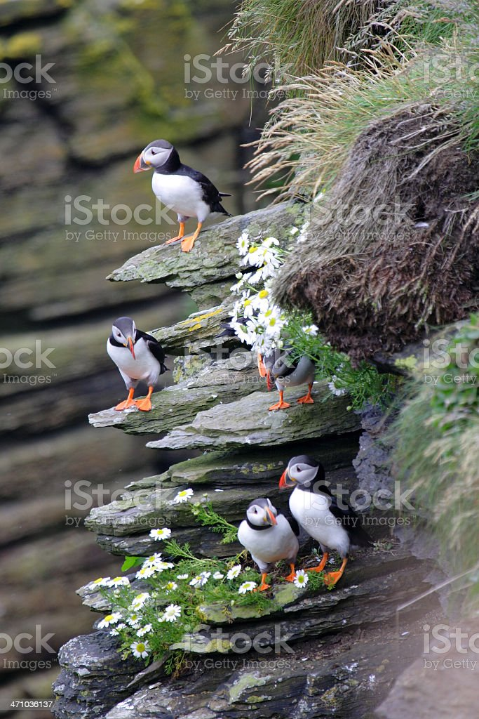 Puffins royalty-free stock photo