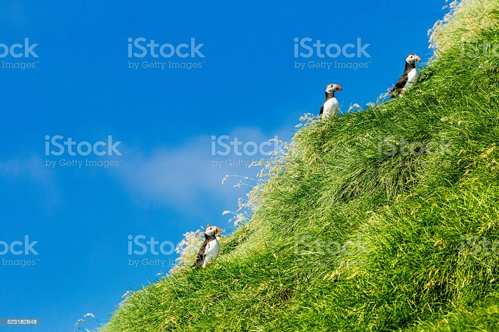 Puffins stock photo