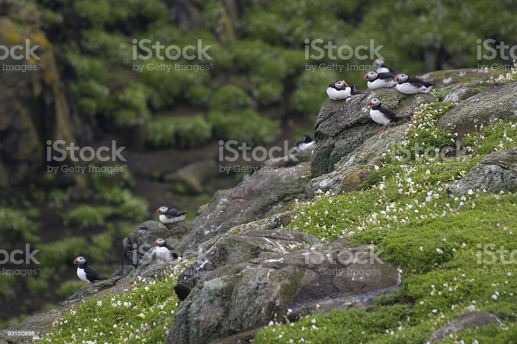 Puffins resting on a cliff royalty-free stock photo