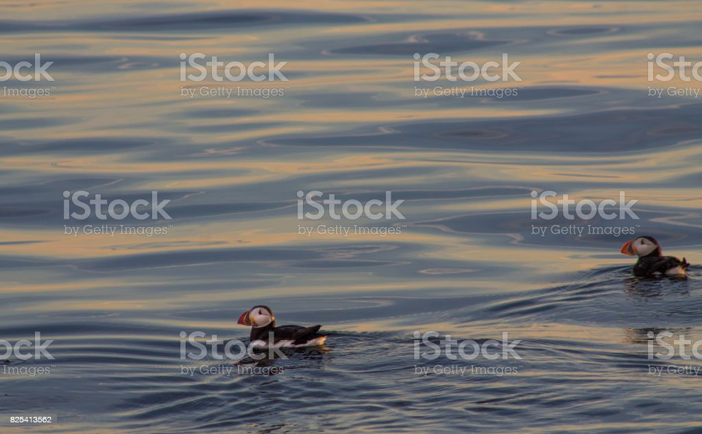 Puffins swimming on blue and orange water - looking left stock photo