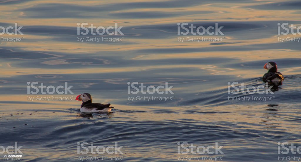 Puffins swimming on blue and orange water stock photo