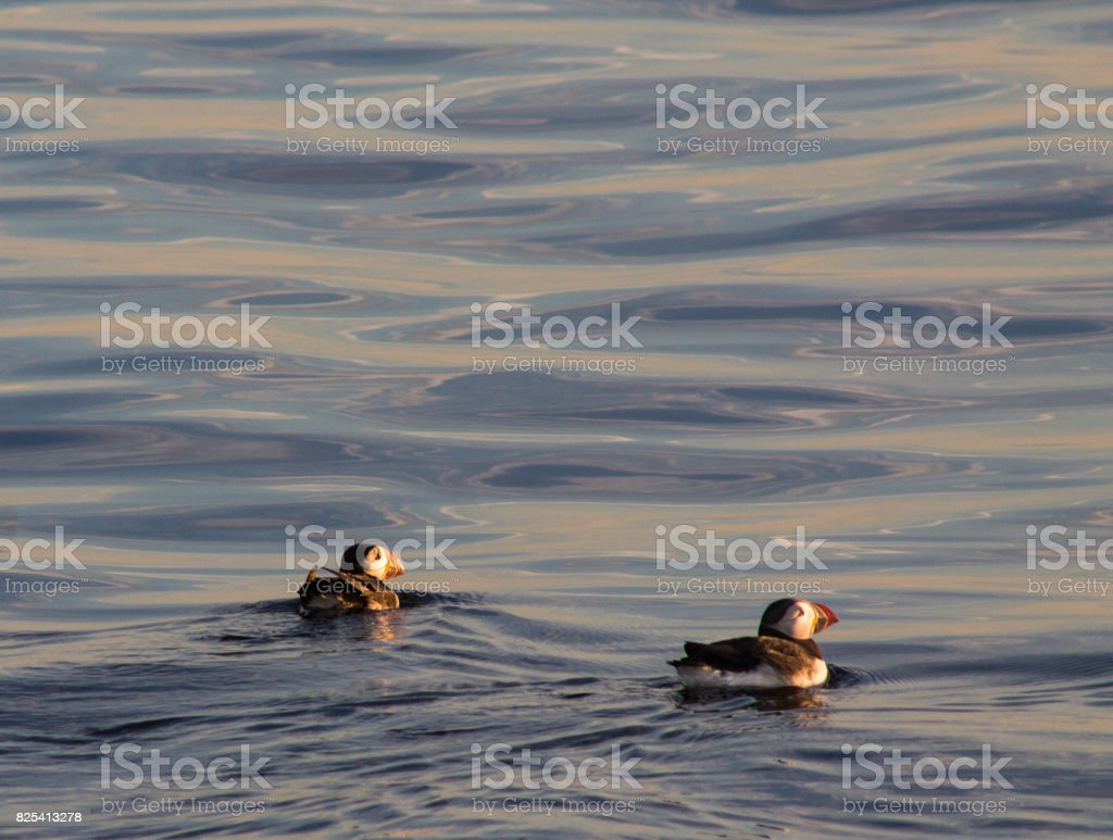 Puffins swimming on blue and yellow water stock photo
