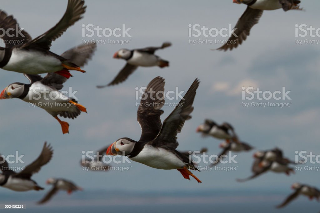 Puffins, the Farne Islands stock photo