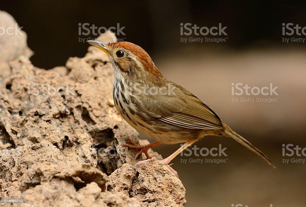 Puff-throated Babbler (Pellorneum ruficef) stock photo