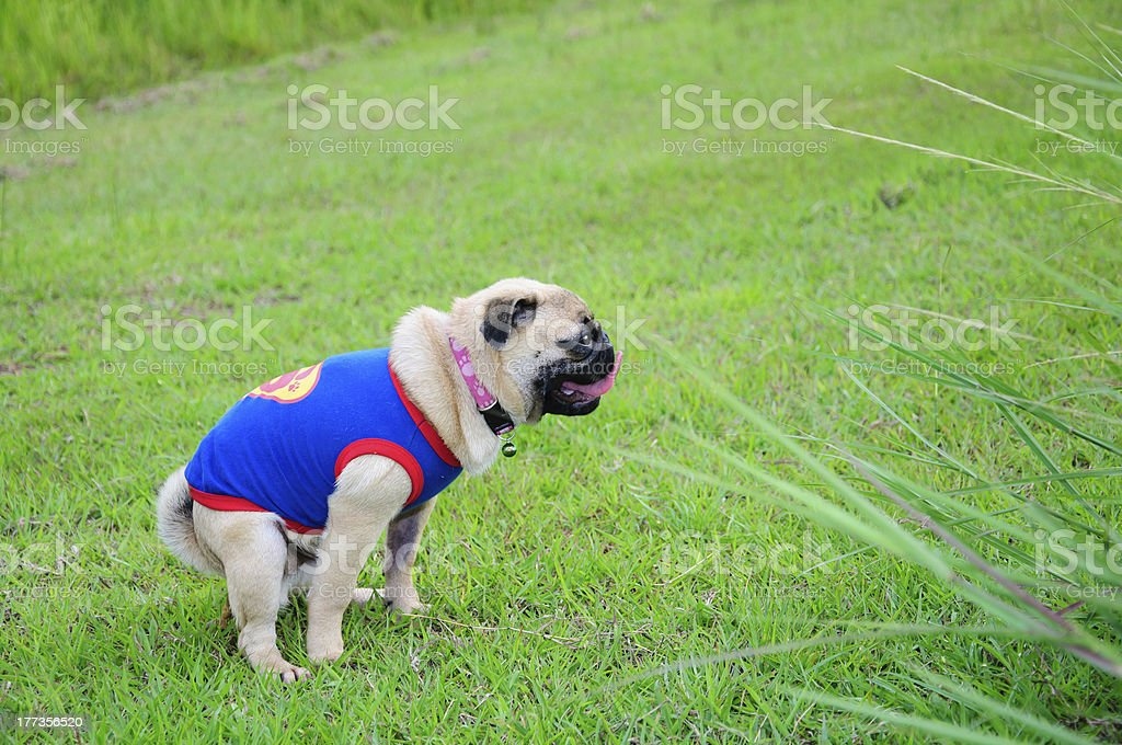 Pug, 3 years old, defecating against in nature stock photo