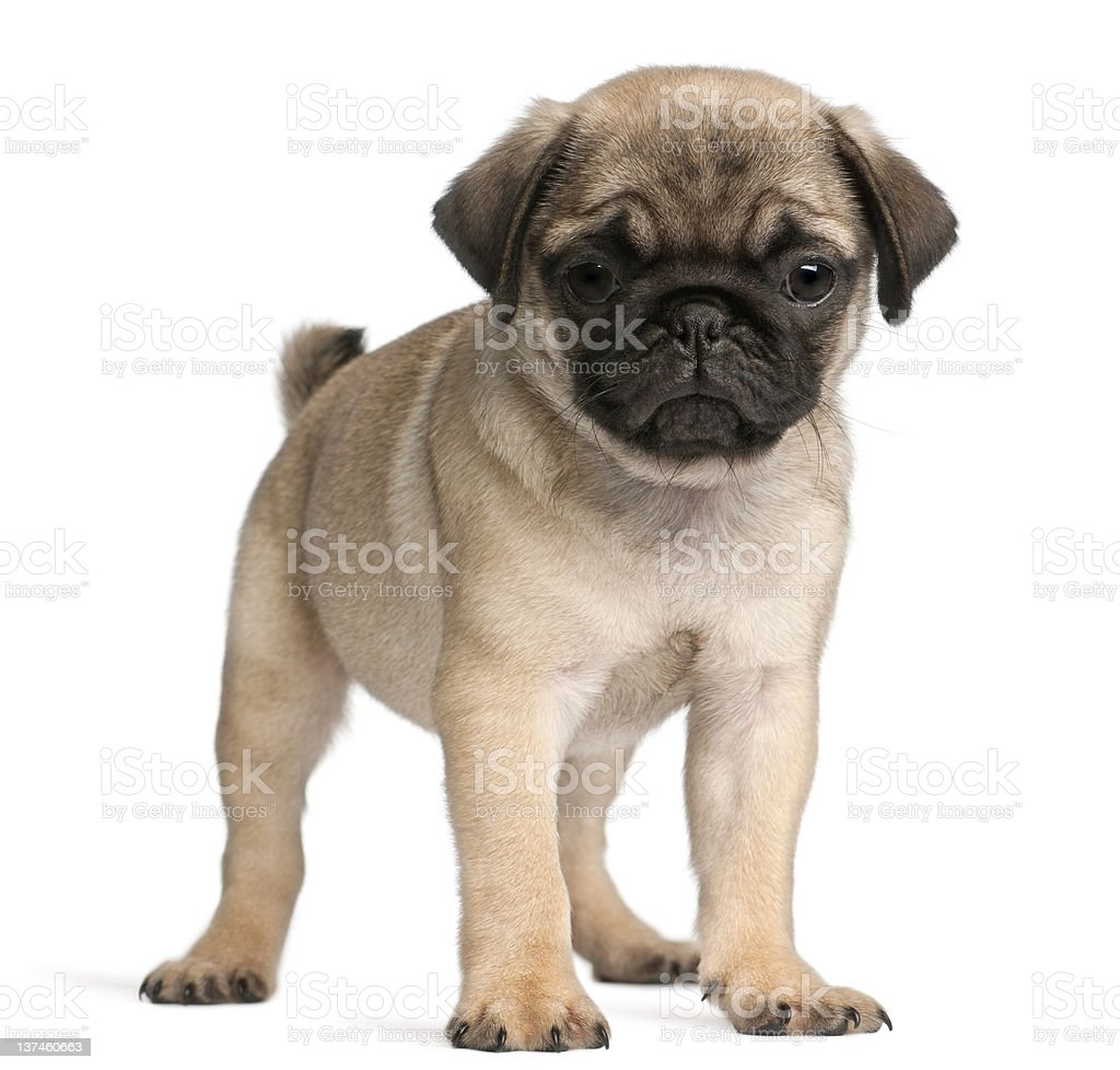 Pug, 8 weeks old, standing in front of white background royalty-free stock photo