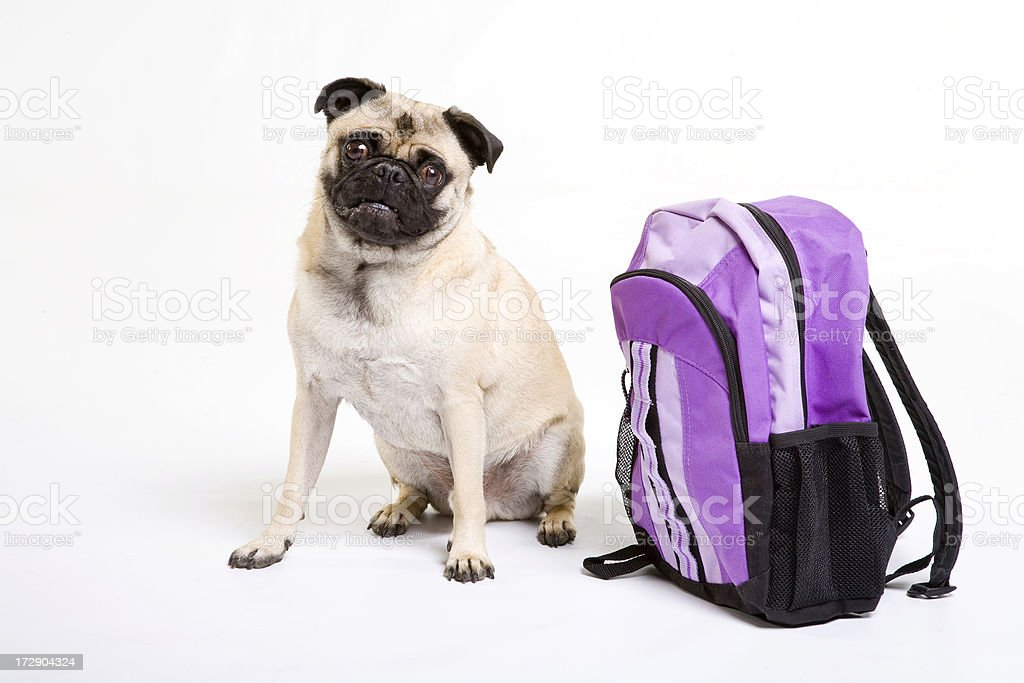 Pug and purple backpack royalty-free stock photo