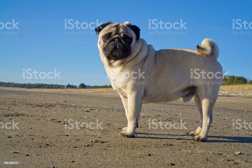 pug at the beach stock photo