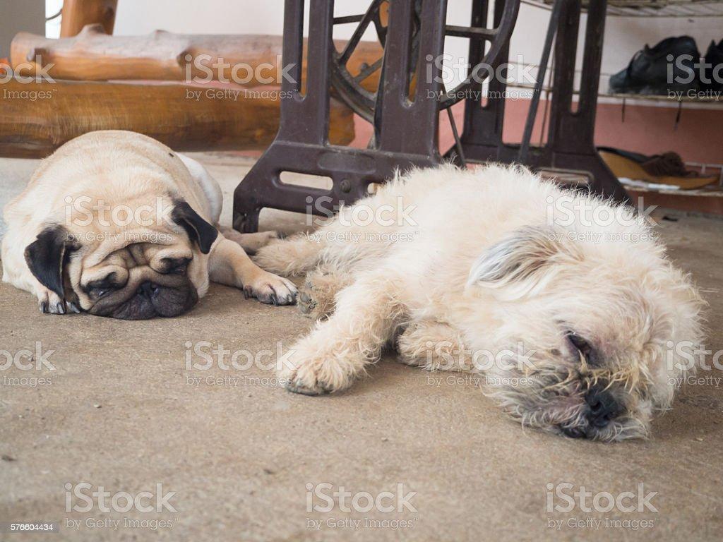 Pug dog and Shih Tzu dog sleep on the floor