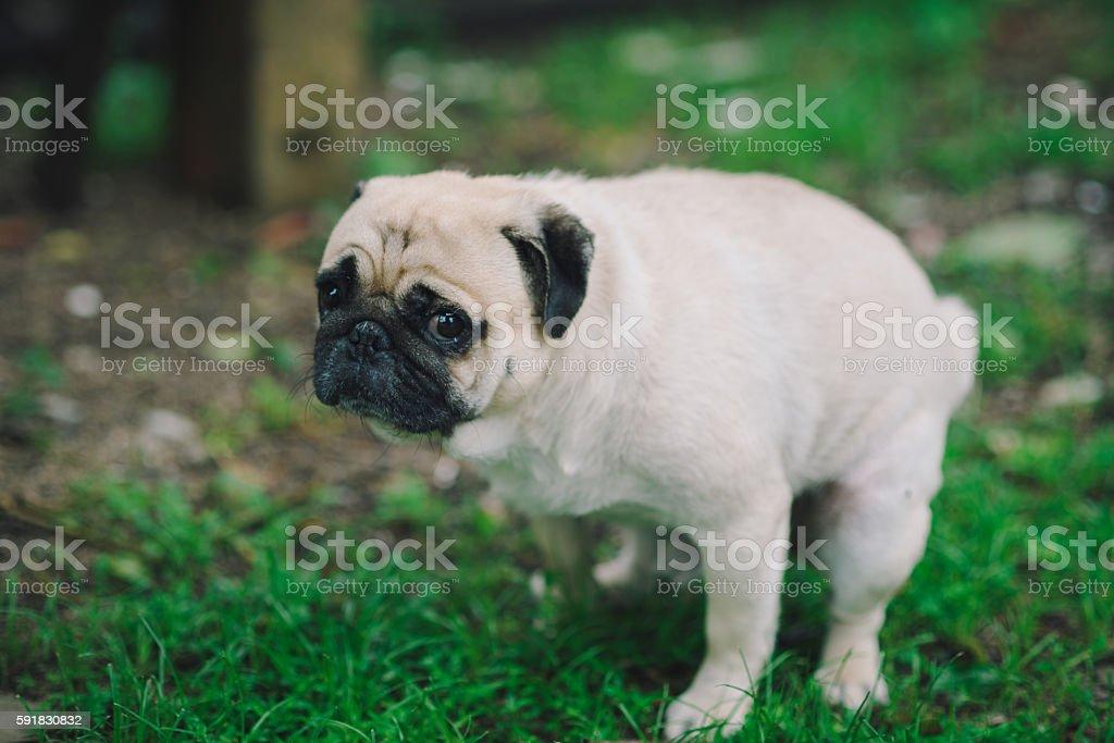 Pug Dog Excrement stock photo