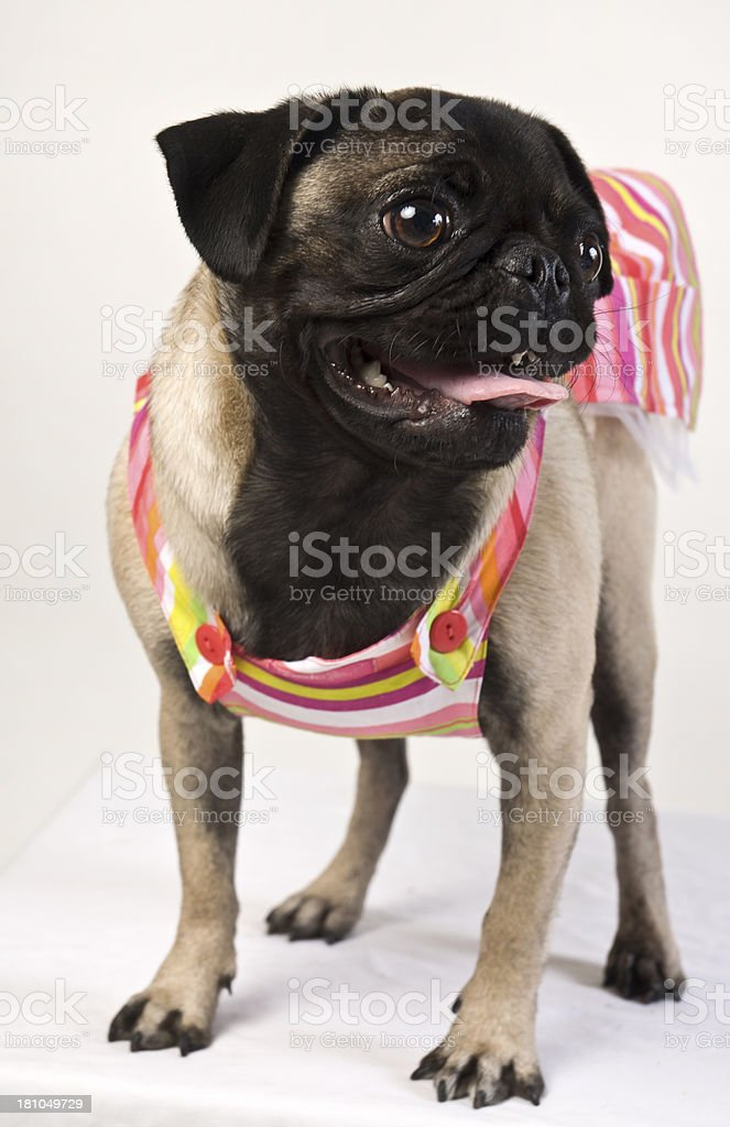 Pug Dog In Cute Colorful Beachwear Against White Background royalty-free stock photo