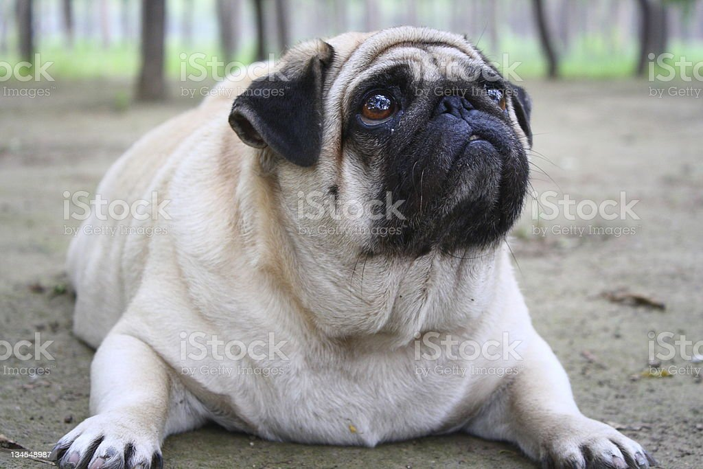 A pug dog lying down looking up stock photo