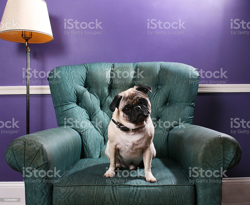 Pug dog on green chair in front of purple wall stock photo