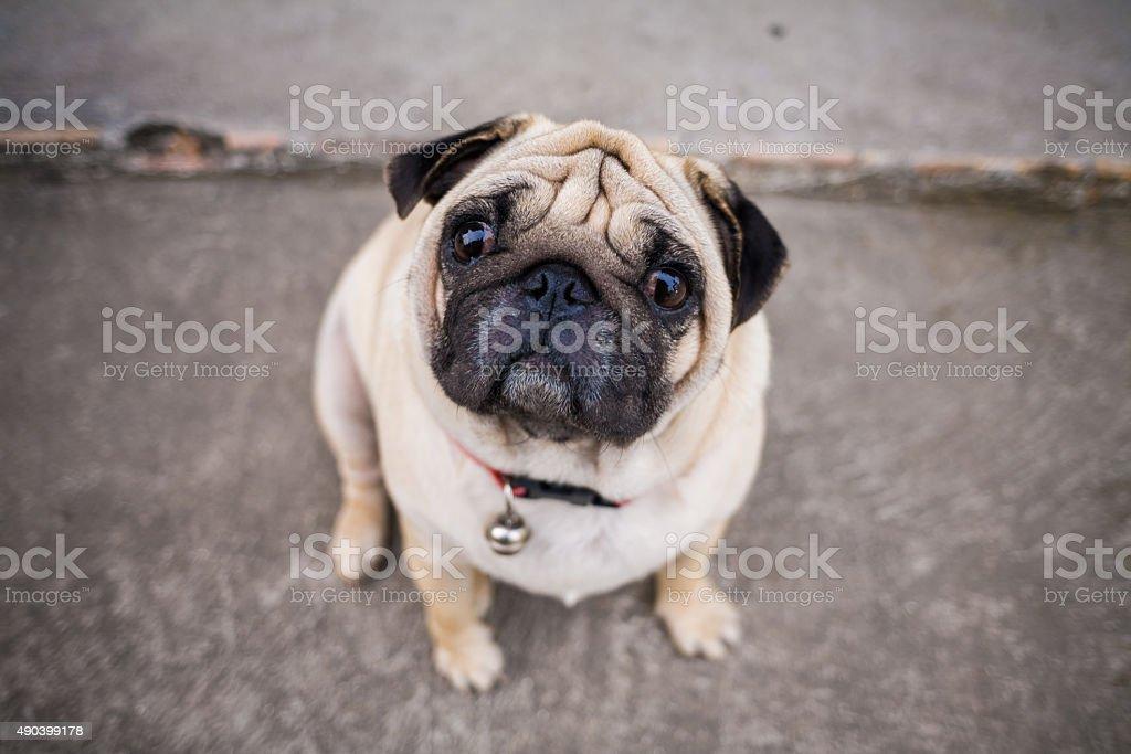 Pug Dog on street stock photo