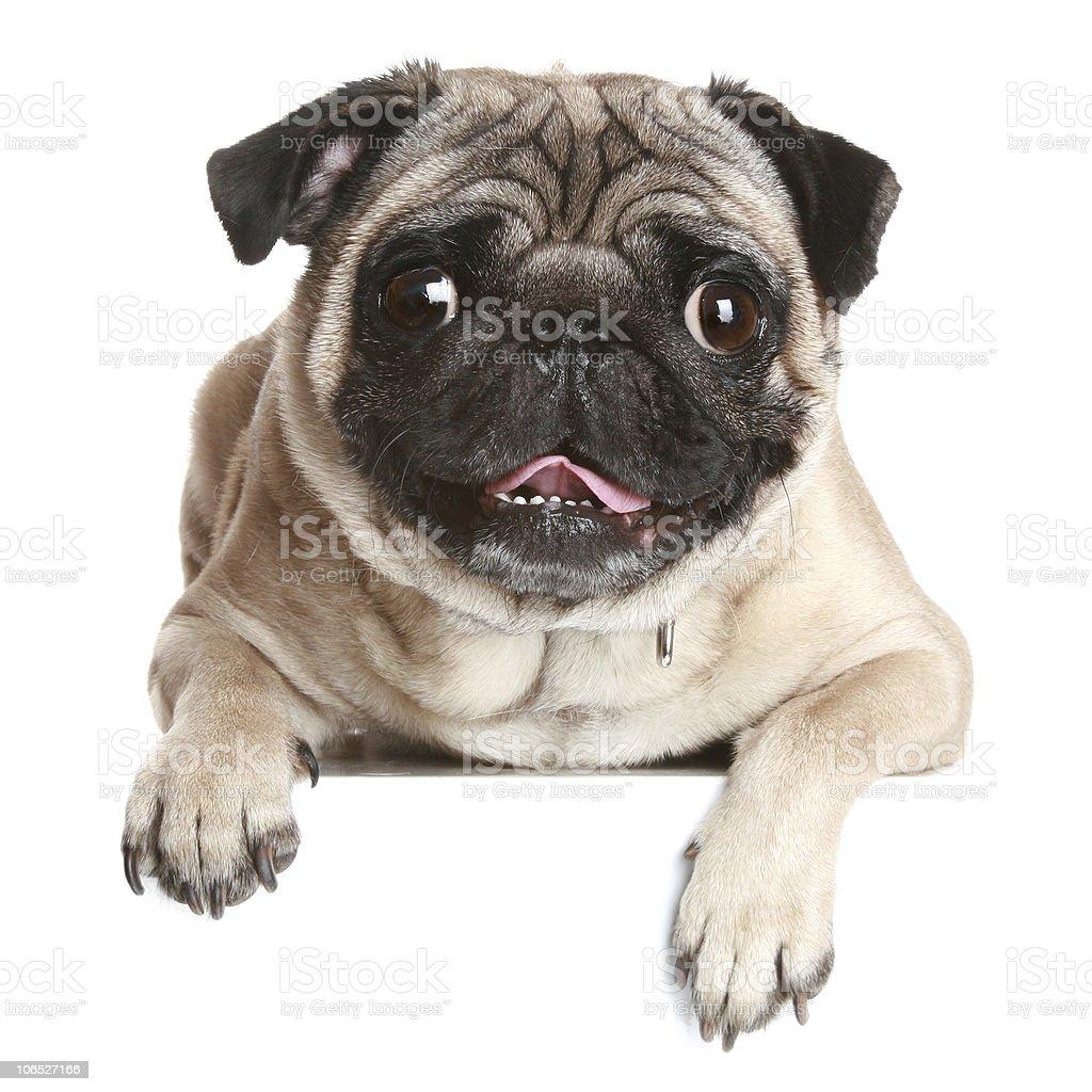 Pug dog on white banner stock photo
